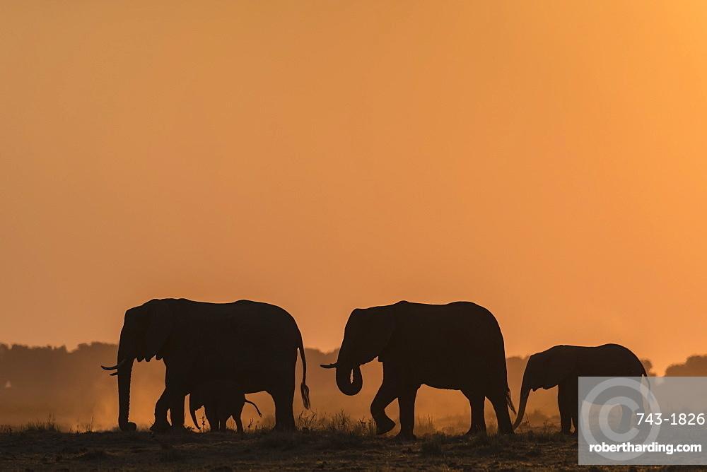 African elephants (Loxodonta africana) at sunset, Chobe National Park, Botswana, Africa