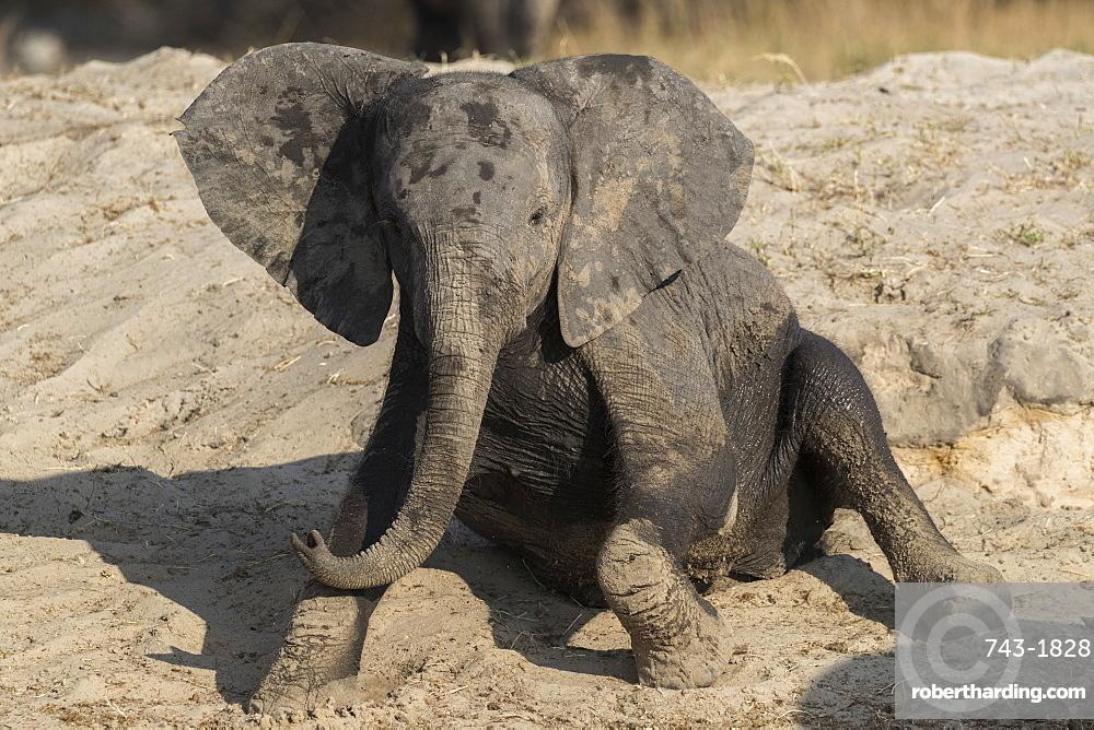 African elephant (Loxodonta africana) young rubbing, Chobe national park, Botswana,