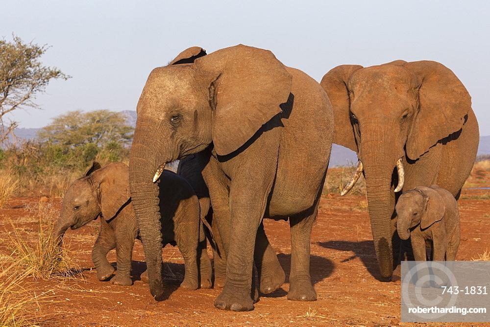 African elephant (Loxodonta africana), Zimanga game reserve, KwaZulu-Natal, South Africa, Africa