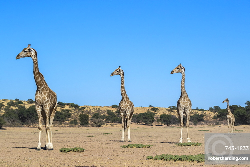 Giraffe (Giraffe camelopardalis), Kgalagadi Transfrontier Park, South Africa, Africa