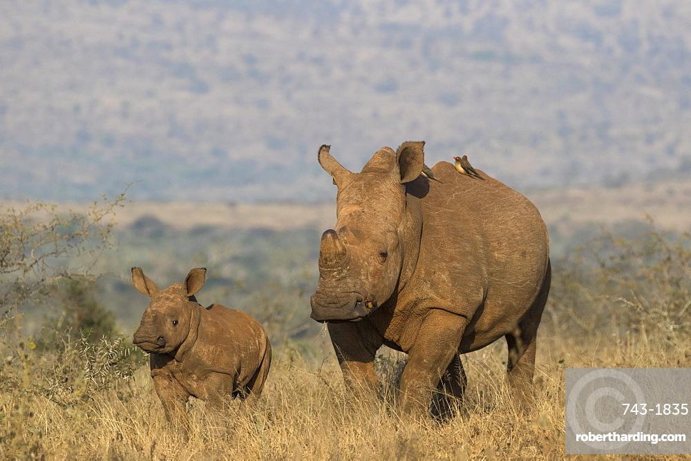 White rhino (Ceratotherium simum) with calf, Zimanga private game reserve, KwaZulu-Natal, South Africa, Africa