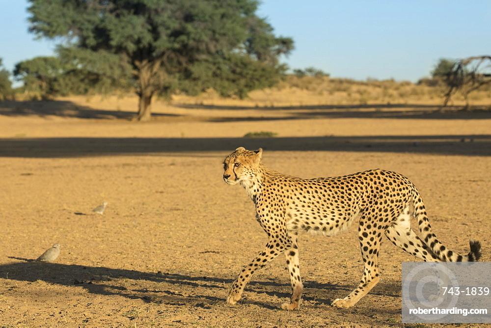Cheetah (Acinonyx jubatus), Kgalagadi Transfrontier Park, South Africa,