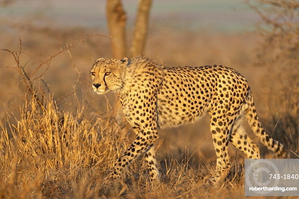 Cheetah (Acinonyx jubatus), Zimanga private game reserve, Kwaqulu-Natal, South Africa