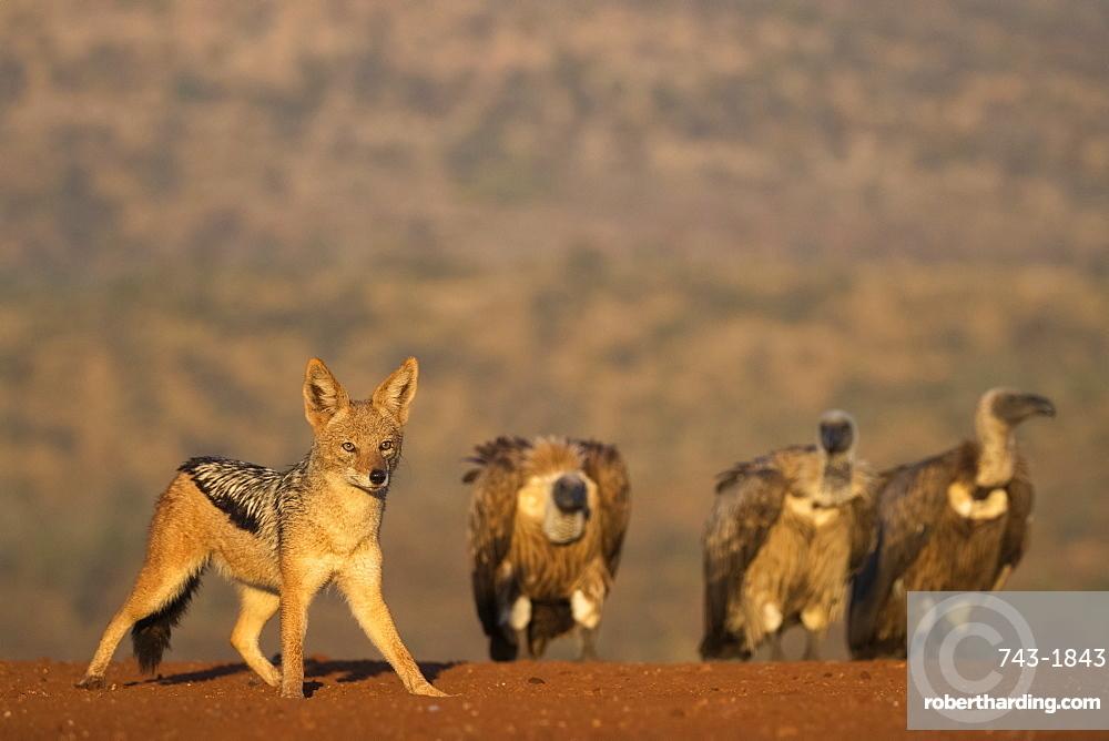 Blackbacked jackal (Canis mesomelas), Zimanga private game reserve, KwaZulu-Natal, South Africa,