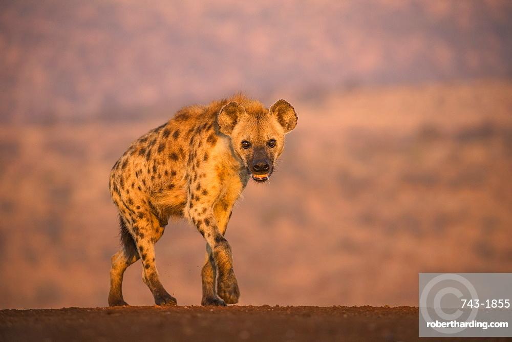 Spotted hyena (Crocuta crocuta), Zimanga private game reserve, KwaZulu-Natal, South Africa,