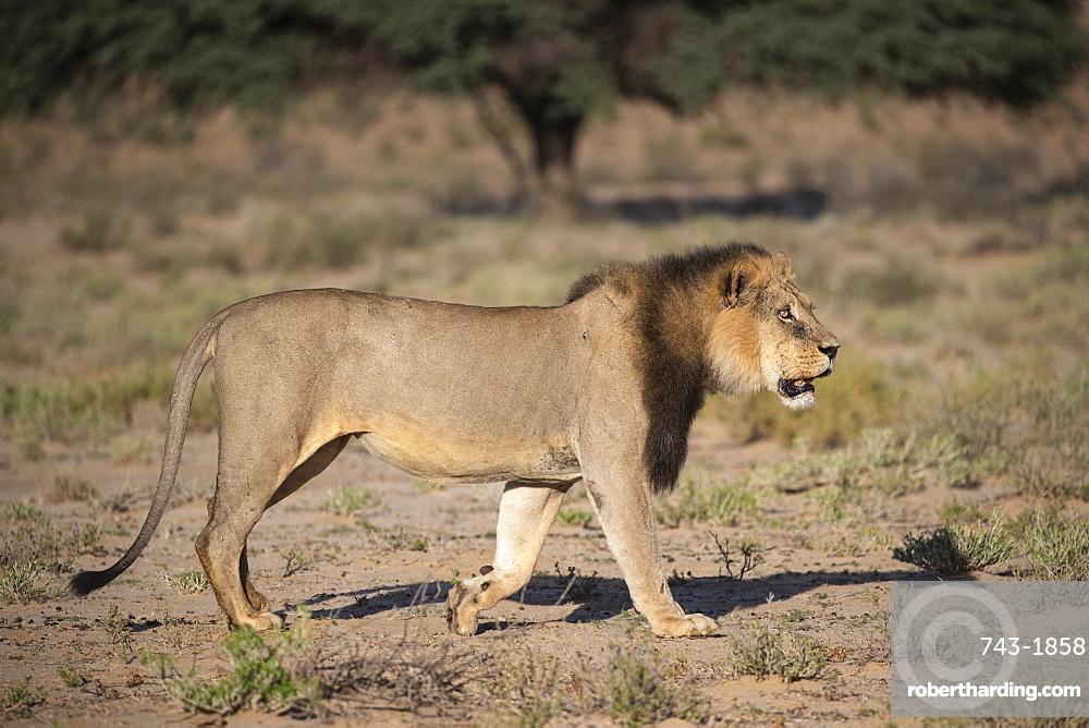 Lion (Panthera leo) male, Kgalagadi Transfrontier Park, South Africa,