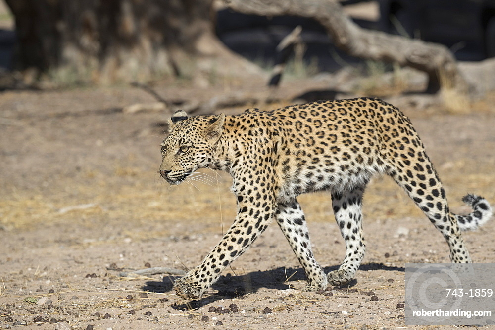 Leopard (Panthera pardus) female, Kgalagadi transfrontier park, South Africa,