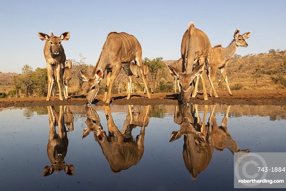 Greater kudu (Tragelaphus strepsiceros) at water, Zimanga private game reserve, KwaZulu-Natal, South Africa,