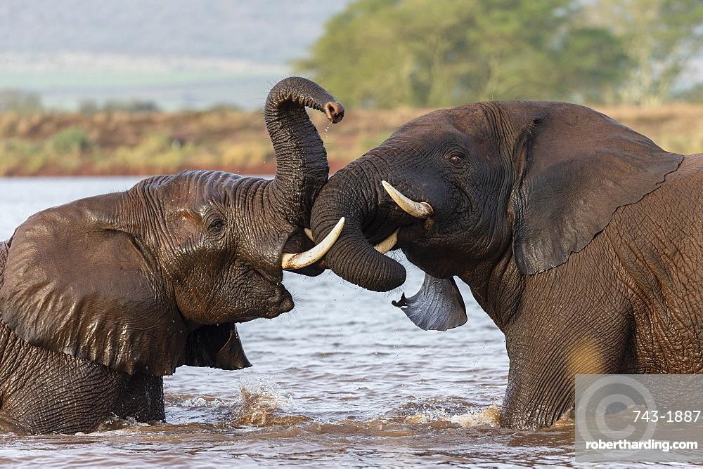 African elephants (Loxodonta africana) playfighting in water, Zimanga game reserve, KwaZulu-Natal, South Africa