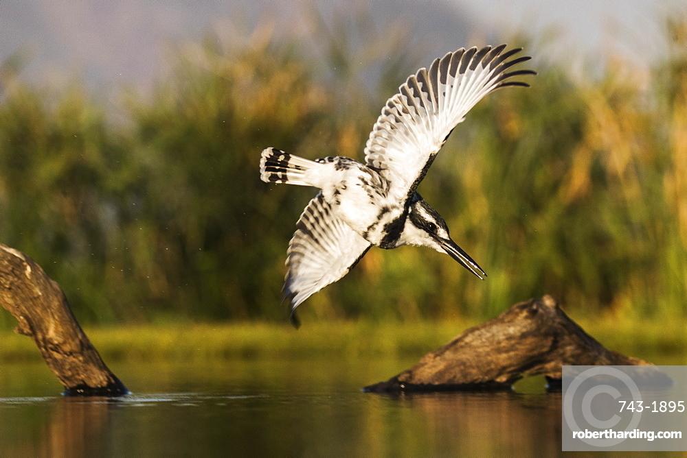 Pied kingfisher (Ceryle rudis) diving, Zimanga private game reserve, KwaZulu-Natal, South Africa,