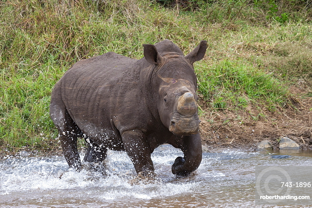 White rhino (Ceratotherium simum) bull, Zimanga private game reserve, KwaZulu-Natal, South Africa, Africa
