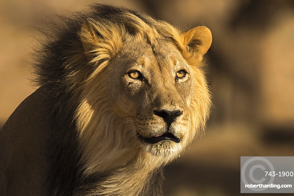 Lion (Panthera leo) male, Kgalagadi Transfrontier Park, South Africa,