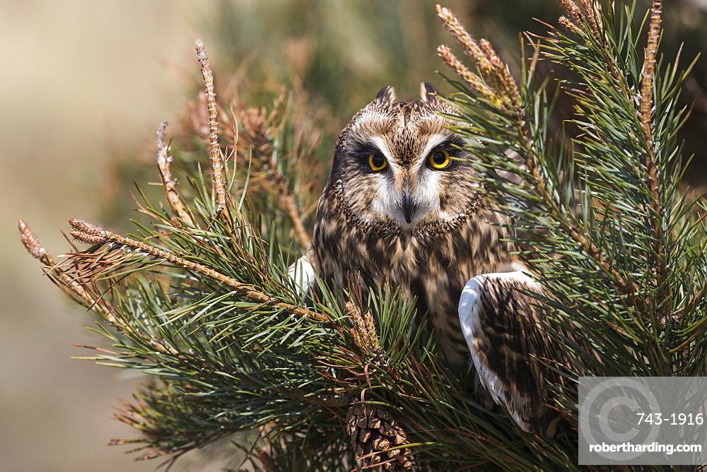 Short-eared owl (Asio flammeus) captive, Holy Island, Northumberland, UK