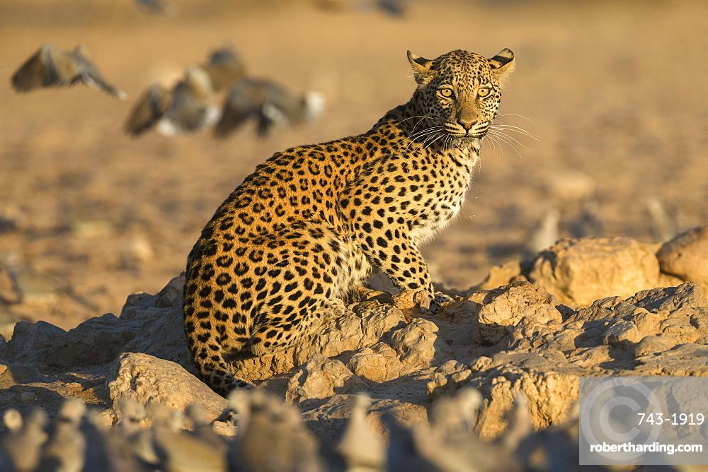 Leopard (Panthera pardus) female, Kgalagadi Transfrontier Park, South Africa, Africa