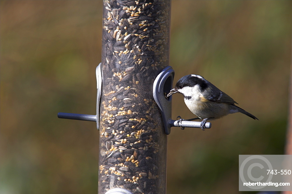 Coal tit (Parus ater), taking sunflower seed from feeder in winter in the garden, United Kingdom, Europe
