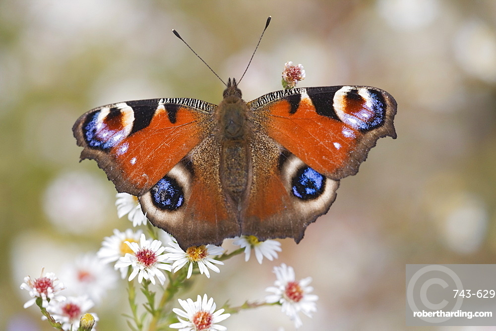 Peacock butterfly (Inachis io), resting on garden flowers, Wallington Hall garden, Northumberland, England, United Kingdom, Europe