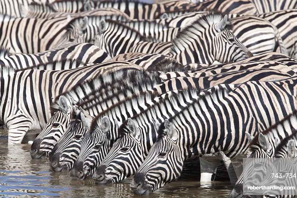 Burchell's (plains) zebra (Equus burchelli), at waterhole, Etosha National Park, Namibia, Africa
