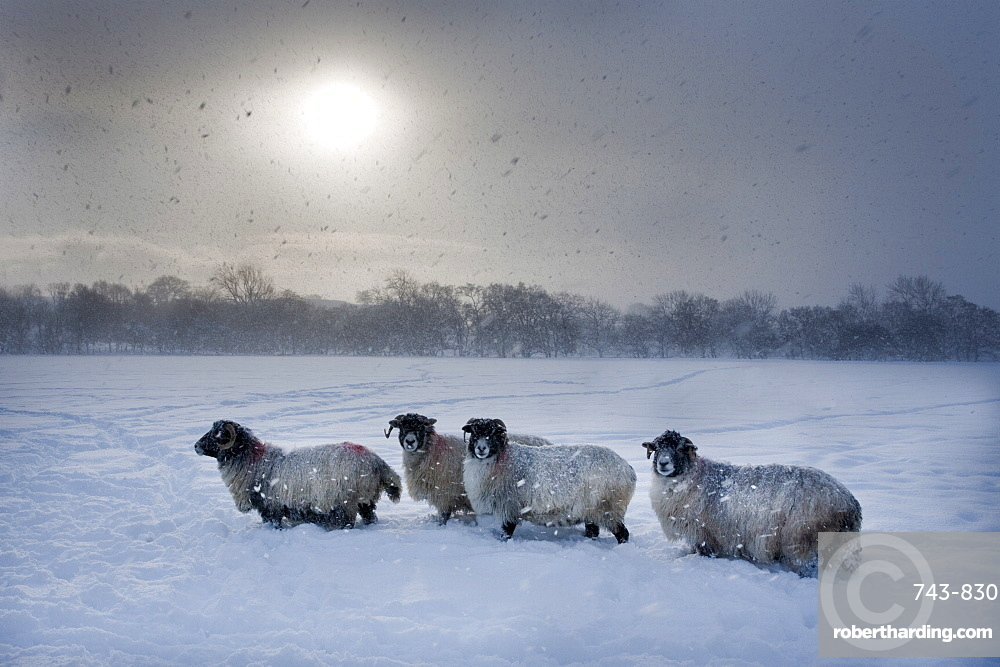 Northumberland Blackface Sheep In Snow Stock Photo