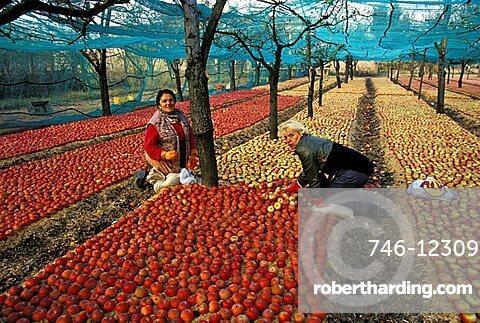 Apple cultivation, Sant'Agata de' Goti, Campania, Italy