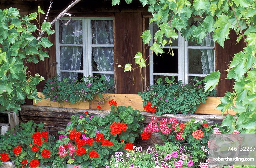 Windows with pelargonium, oxalis, violas and vine