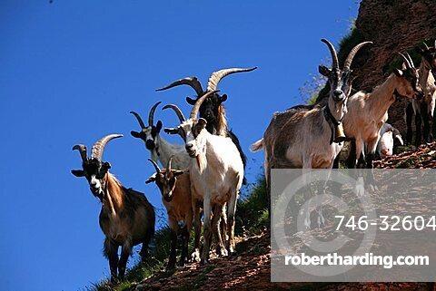 Goats, Cima Verde peak, Tre Cime mountains, Trentino Alto Adige, Italy