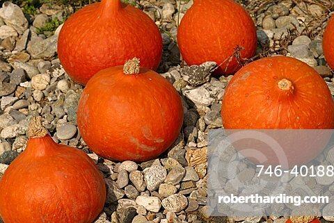 Pumpkins, Italy