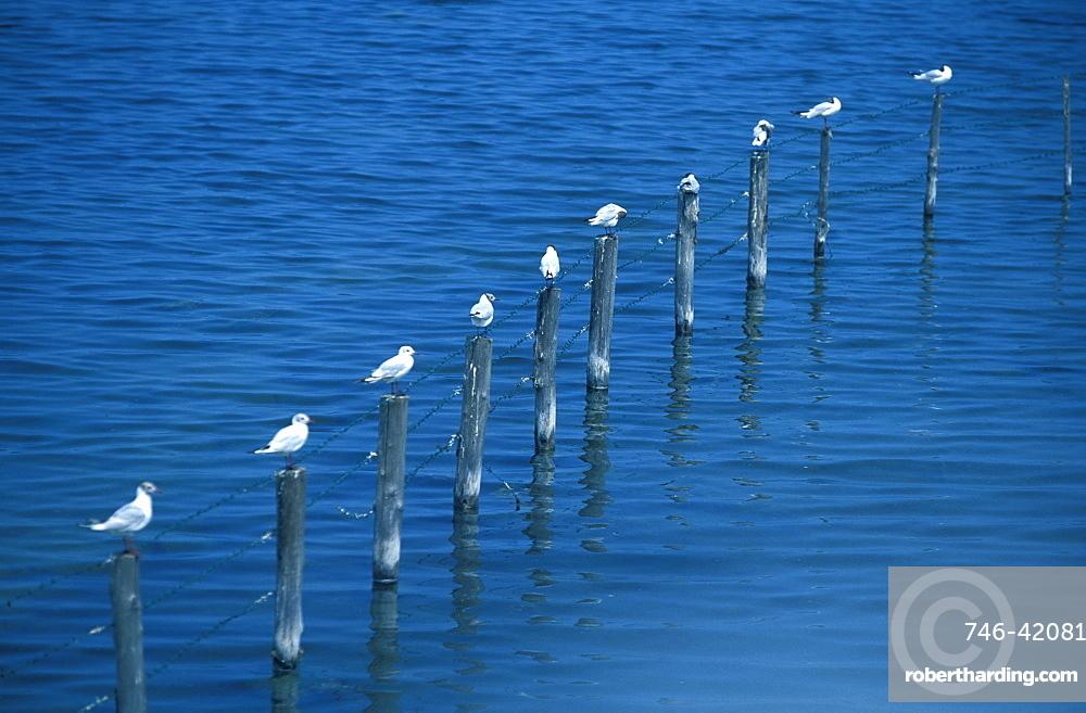 Seagulls, Albarella Island, Rosolina, Veneto, Italy