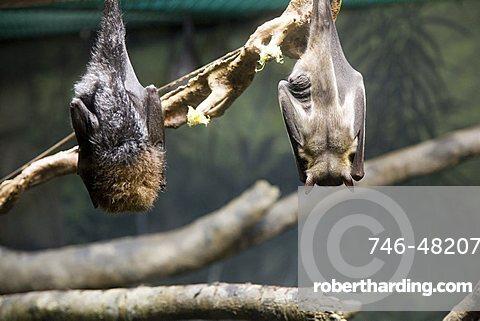 Bats, Zoo, Washington Park, Portland, Oregon, United States of America, North America