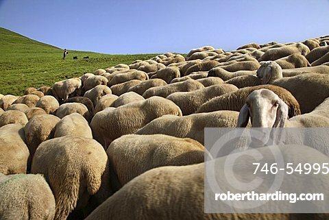 Flock with sheperd, Bondone mountain, Trentino, Italy