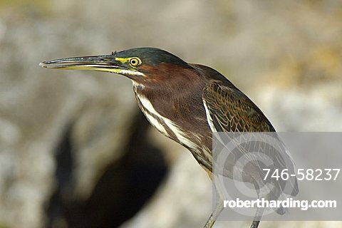 Green Heron, Dominican Republic, West Indies, Central America