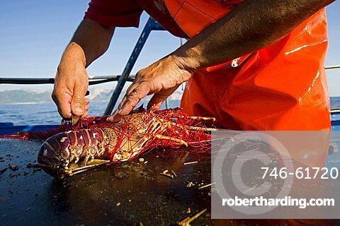 Traditional lobster fishing, Santa Maria Navarrese, gulf of Arbatax, Ogliastra, Sardinia, Italy, Europe