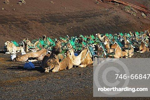 Camel caravan waiting for tourists in Timanfaya National Park, UNESCO biospherical Reserve, Lanzarote, Canary Islands, Spain