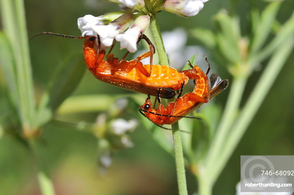 Rhagonycha fulva, Common red soldier beetle