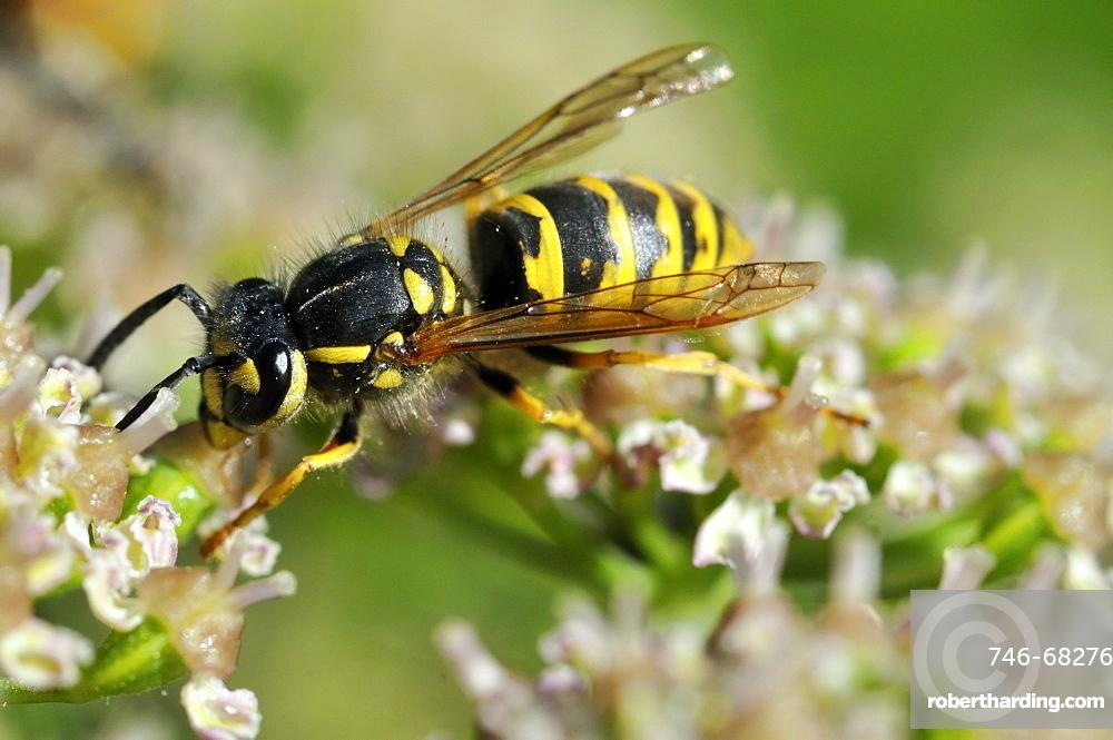 Vespula vulgaris, Common wasp