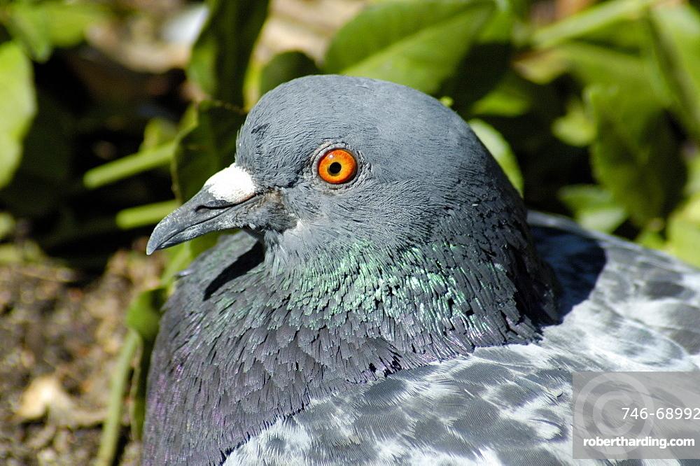 Columba livia, Rock Pigeon