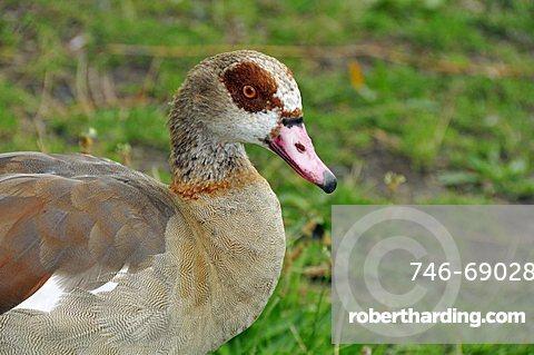 Alopochen aegyptiacus, Egyptian Goose