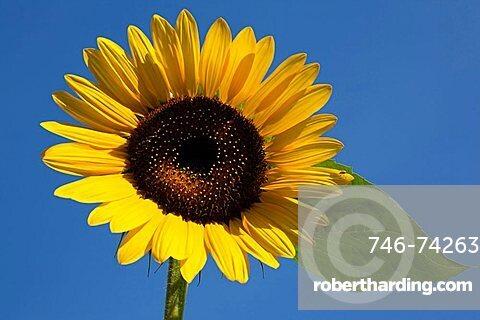Sunflower, Trentino Alto Adige, Italy, Europe