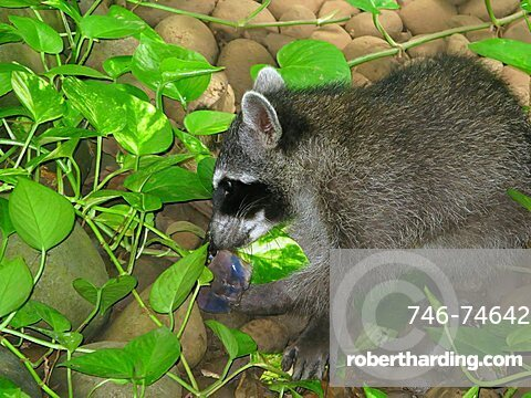Raccoon, eating, Republic of Costa Rica, Central America