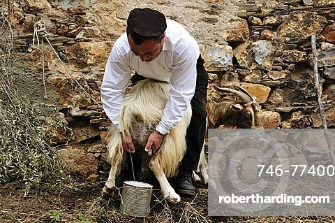 Traditional milking, Baunei, Sardinia, Italy, Europe