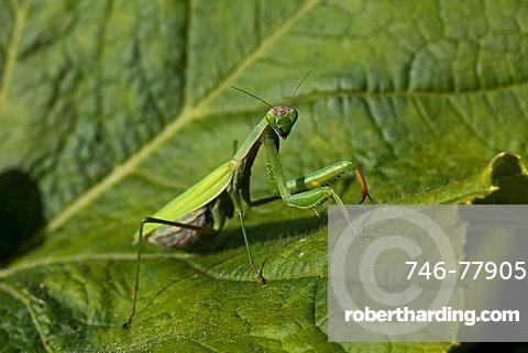 Praying Mantis, Mantis religiosa Linnaeus