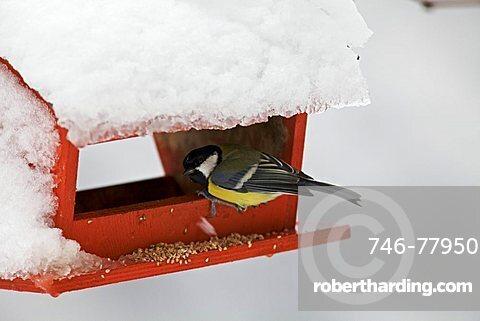 Tit mouse during snow, Vallagarina, Trentino, Italy, Europe