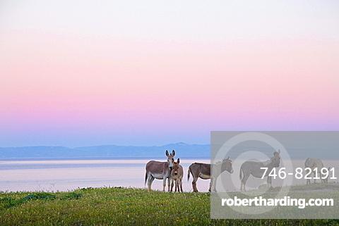 Donkeys, Asinara island, Porto Torres, Sardinia, Italy, Europe