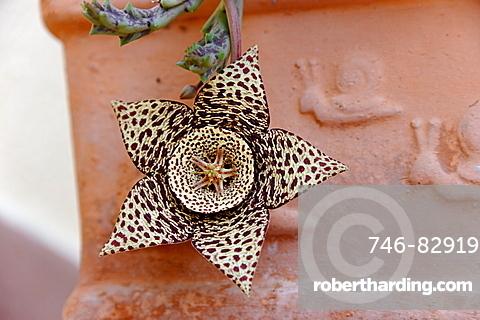 Flower, Sardinia, Italy