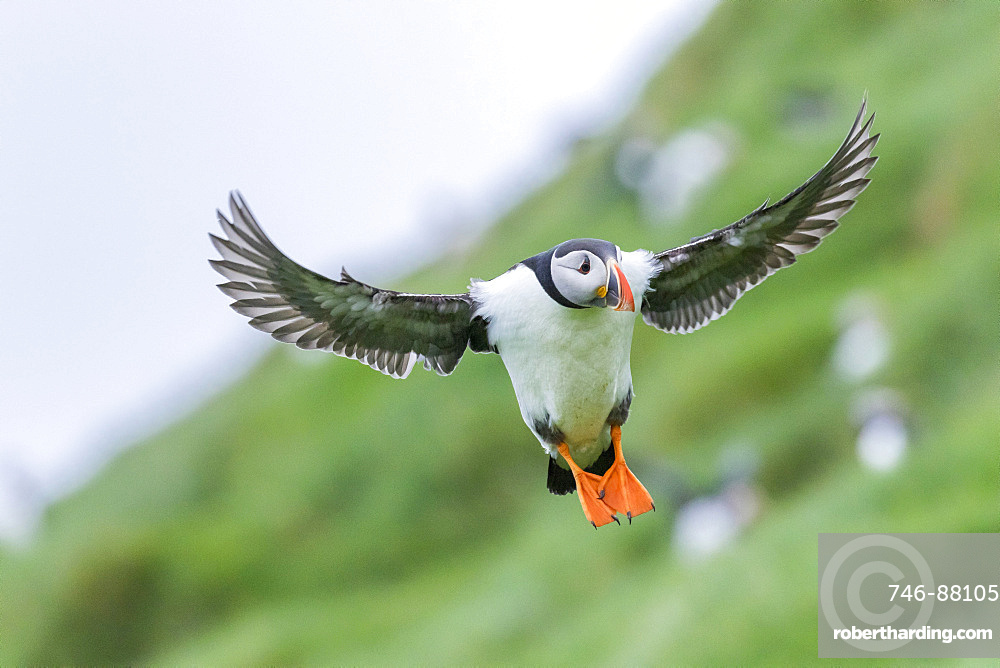Landing in a colony. Atlantic Puffin (Fratercula arctica) in a puffinry on Mykines, part of the Faroe Islands in the North Atlantic, Denmark, Northern Europe