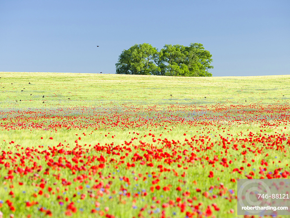 Field with poppy and conrflowers in the  Usedomer Schweiz on the island of Usedom.    Europe,Germany, Mecklenburg-Western Pomerania, Usedom, June
