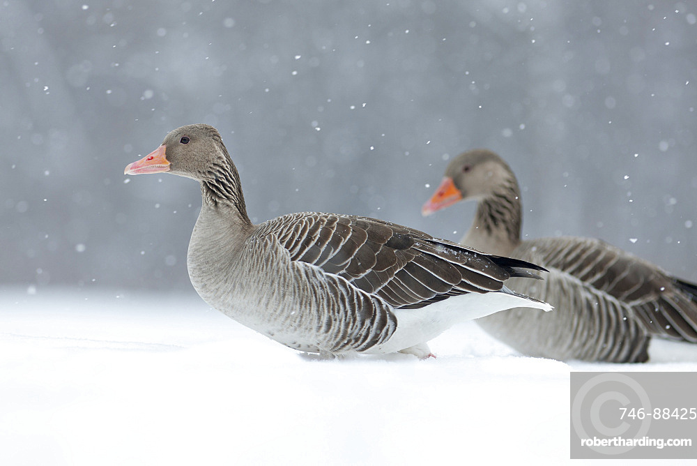 Greyleg Goose (Anser anser) during winter, snowfall and in deep snow, Germany. The Greylag Goose is originally a migratory bird, but some local populations tend to be resident for still unknown reasons, Europe, Central Europe, Bavaria, Germany
