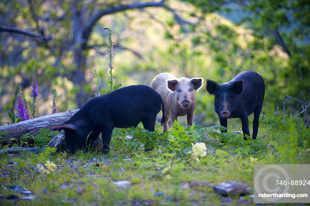 Wild domestic pigs on the Road D71, Saint Andrea di Cotone and Felce zone, Corsica, France, Europe