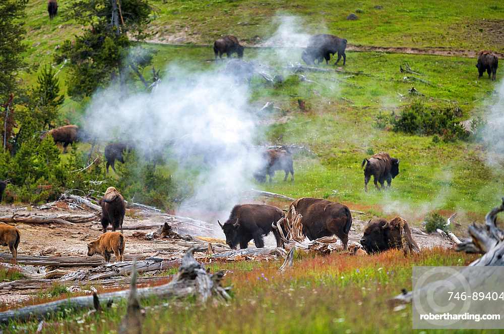 A herd of bison moving along the Yellowstone National Park, Wyoming, USA.