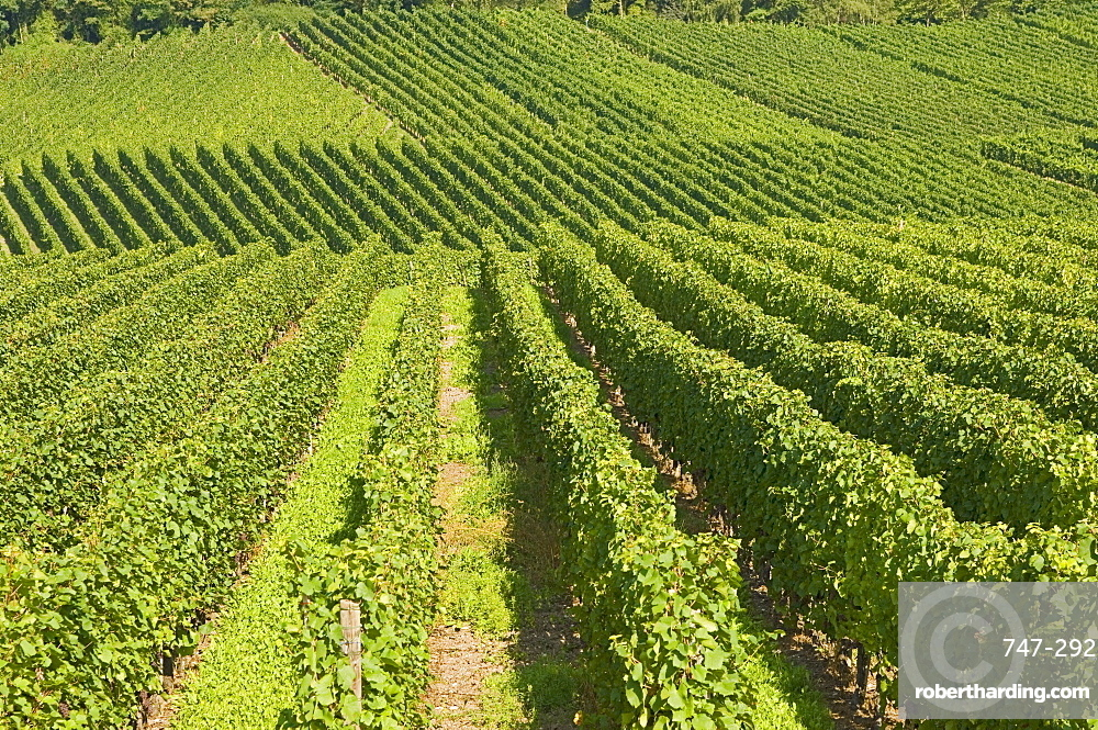 Vineyards by the River Moselle, Luxembourg, Europe