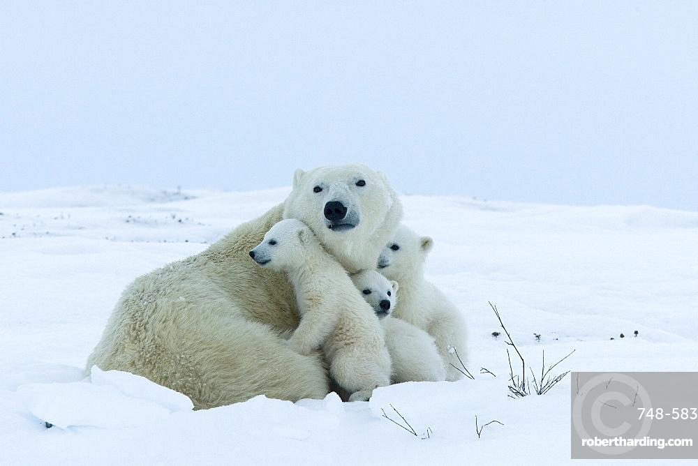 Polar bear (Ursus maritimus) mother with triplets, Wapusk National Park, Churchill, Hudson Bay, Manitoba, Canada, North America